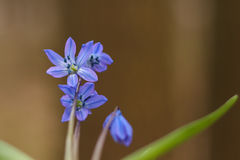 会开蓝色钟形花的草, snowdrop在森林里,花 免版税图库摄影