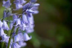 会开蓝色钟形花的草 库存图片