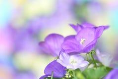 会开蓝色钟形花的草 免版税库存照片