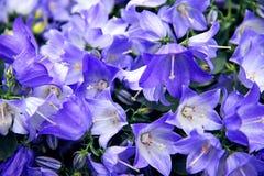 会开蓝色钟形花的草 免版税图库摄影