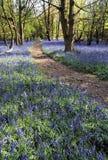 会开蓝色钟形花的草buckinghamshire chilterns县en小山家路径pitstone ridgeway木头 免版税库存照片