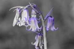会开蓝色钟形花的草colorsplash 库存照片