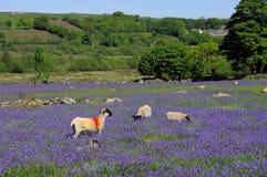 会开蓝色钟形花的草dartmoor绵羊 免版税库存照片
