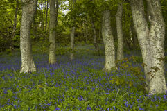 会开蓝色钟形花的草dunrobin木头 库存照片