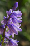 会开蓝色钟形花的草Hyacinthoides hispanica 图库摄影