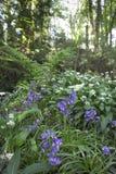 会开蓝色钟形花的草ramsons 图库摄影