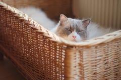 会见汤姆,在仓促篮子的Ragdoll猫 库存图片