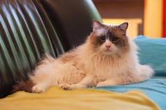 会见汤姆,说谎在沙发的Ragdoll猫 免版税库存图片