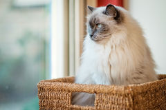 会见鲍里斯,坐在仓促篮子的Ragdoll猫 库存照片