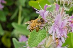 会集从紫袍贤人萨尔维亚leucophylla花的蜂蜜蜂花蜜在春天,加利福尼亚 库存图片