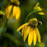 会集从黑眼睛的苏珊的蜂蜜蜂花粉 库存照片