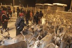会集在拉普兰,芬兰的Sami驯鹿 库存图片