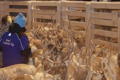 会集在拉普兰,芬兰的Sami驯鹿 免版税库存照片