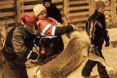 会集在拉普兰,芬兰的Sami驯鹿 免版税库存图片