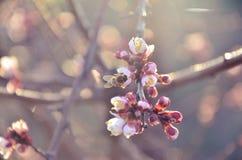 会集在樱桃的蜂花蜜 库存图片