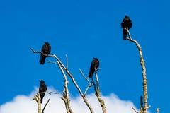 会集在死的树枝的乌鸦谋杀  库存图片