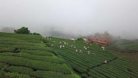 会集在种植园的工作者Oolong茶叶在阿里山地区,台湾 在有雾的天气的鸟瞰图 股票视频