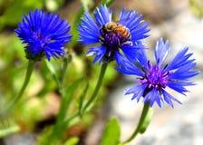 会集在蓝色花的蜂蜂蜜 免版税库存图片