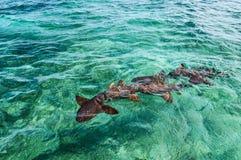 会集在诱饵预期的绞口鲨科在鲨鱼光芒胡同Caye填缝隙工海岛在伯利兹,加勒比 库存照片
