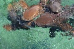 会集在诱饵预期的绞口鲨科在鲨鱼光芒胡同Caye填缝隙工海岛在伯利兹,加勒比 免版税库存照片