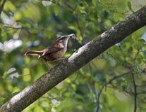 会集小鸡的卡罗来纳州鹪鹩鸟昆虫食物 图库摄影