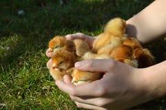 会集小鸡的手 免版税库存图片