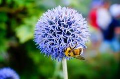 会集花粉和花蜜在地球蓟的蜂蜜蜂开花 免版税库存照片