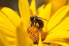 会集花粉的蜂 免版税图库摄影