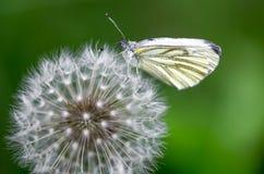 会集花粉的蝴蝶从蒲公英花里边 免版税库存图片
