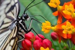 会集花粉的蝴蝶 库存照片