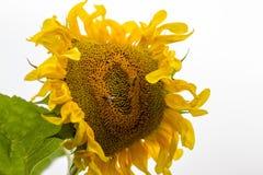 会集花蜜,特写镜头的向日葵和两只蜂 免版税库存图片