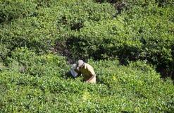 会集茶叶的一个人在种植园 斯里南卡 图库摄影