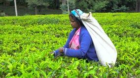 会集茶,斯里兰卡- 2017年2月10日的斯里兰卡地方妇女 股票录像