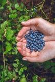 会集蓝莓在森林里 库存照片