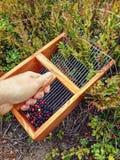 会集蓝莓的手 免版税图库摄影