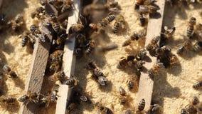 会集食物的蜂 股票视频