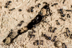 会集食物的黑蚂蚁 免版税库存图片