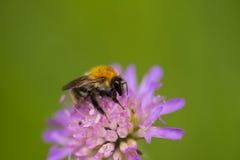 会集从一朵紫色夏天花的一只美丽的土蜂蜂蜜 免版税库存照片