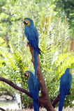 会集3只与蓝色和橙色羽毛的五颜六色的墨西哥人鹦鹉金刚鹦鹉 库存照片