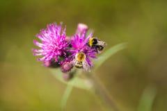 会集从沼泽蓟花的一只美丽的野生土蜂蜂蜜 图库摄影