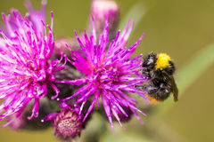 会集从沼泽蓟花的一只美丽的野生土蜂蜂蜜 免版税图库摄影