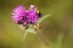 会集从沼泽蓟花的一只美丽的野生土蜂蜂蜜 免版税库存图片