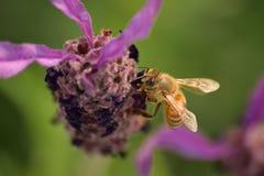 会集从淡紫色花的蜂蜜蜂花粉 免版税图库摄影