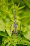 会集从蓝色花的一只美丽的土蜂花粉在夏天草甸 免版税库存图片