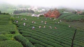 会集Oolong茶叶的人们在种植园在阿里山地区,台湾收获 在有雾的天气的鸟瞰图 股票录像