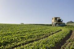 会集spinachs的收割机在维加斯Bajas del瓜迪亚纳,西班牙 库存图片
