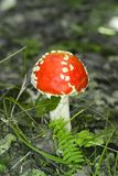 伞形毒蕈在森林里 库存图片