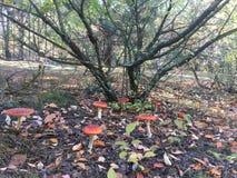 伞形毒蕈在森林里 免版税库存照片