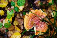 伞形毒蕈在秋天森林里 免版税库存图片
