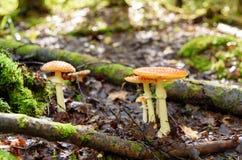 伞形毒蕈秋天危险muscaria蘑菇 红色毒蘑菇 免版税库存照片